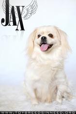 Pekingese Mix Dog For Adoption in Smithsburg, MD, USA