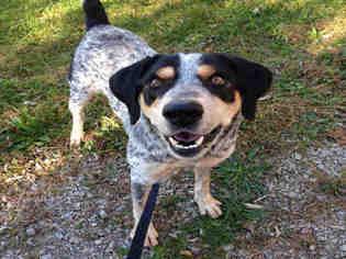 View Ad Bluetick Coonhound Mix Dog For Adoption Near Ohio Bowling Green Usa Adn 702269