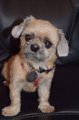 Brussels Griffon Dog For Adoption in West Hollywood, CA