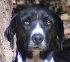 Pointer Mix Dog For Adoption in Tyler, TX, USA