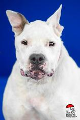American Pit Bull Terrier Mix Dog For Adoption in Yoder, CO, USA