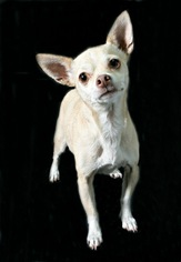Chihuahua Dog For Adoption in Ft. Worth, TX