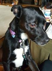 Brat Dog For Adoption in Northport, AL, USA