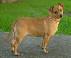 Chihuahua Mix Dog For Adoption in Houston, TX