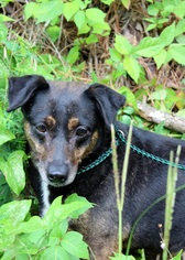 Beagle Mix Dog For Adoption in Yardley, PA, USA