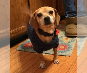Beagle Dogs for adoption in Potomac, MD, USA