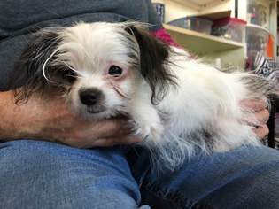 View Ad Mal Shi Dog For Adoption Missouri Kansas City Usa