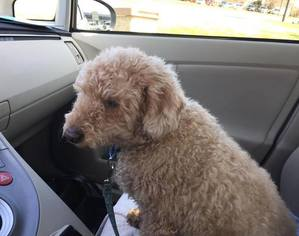View Ad Miniature Labradoodle Dog For Adoption South
