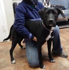 Labrador Retriever Mix Dog For Adoption in Amarillo, TX