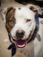 American Staffordshire Terrier Mix Dog For Adoption in Dallas, TX