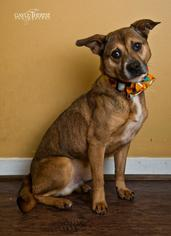 Pembroke Welsh Corgi Mix Dog For Adoption in Pearland, TX