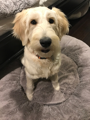 Goldendoodle Dog For Adoption in Marina Del Rey, CA, USA