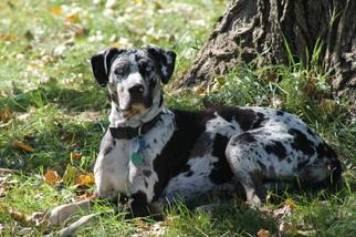 Catahoula Leopard Dog Mix Dog For Adoption in Minneapolis, MN, USA
