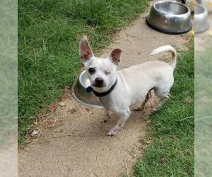 Medium Photo #20 Chihuahua-Unknown Mix Puppy For Sale in Dallas, TX, USA