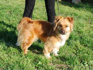 View Ad Cardigan Welsh Corgi Pomeranian Mix Dog For Adoption Near Kentucky Louisville Usa Adn 866287
