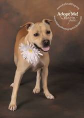 Staffordshire Bull Terrier Mix Dog For Adoption in phoenix, AZ, USA