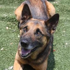 German Shepherd Dog Dog For Adoption in Winder, GA, USA