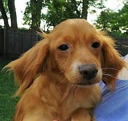 Dachshund Mix Dog For Adoption in Kansas City, MO, USA