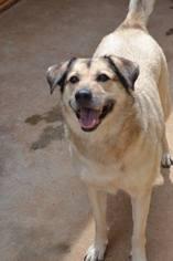 German Shepherd Dog Dog For Adoption in Athens, AL