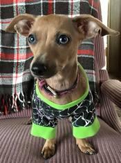 Chihuahua Mix Dog For Adoption in Lansing, MI, USA