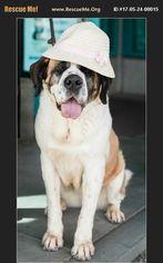 Saint Bernard Dog For Adoption in West Hollywood, CA, USA