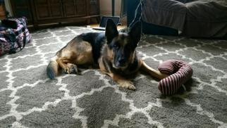 German Shepherd Dog Dog For Adoption in Sterling, VA, USA