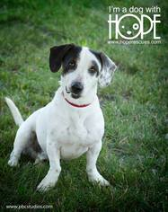 Basset Hound-Jack Russell Terrier Mix Dog For Adoption in Alton, IL