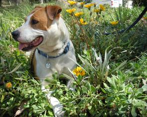 American Pit Bull Terrier Mix Dog For Adoption in Midway City, CA, USA