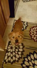 Norfolk Terrier Dog For Adoption in Pacolet, SC, USA