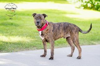 Boxer-Mastiff Mix Dog For Adoption in Chandler, AZ, USA