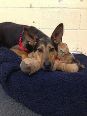 Doberman Pinscher Mix Dog For Adoption in Asheville, NC, USA