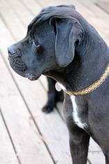 Boxador Dog For Adoption in Colorado Springs, CO