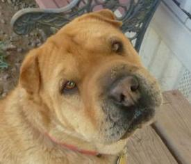 Chinese Shar-Pei Dog For Adoption in Las Cruces, NM