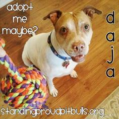 American Pit Bull Terrier-Pointer Mix Dog For Adoption in Mesa, AZ