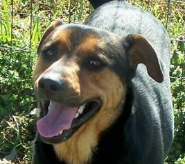 Labrador Retriever Mix Dog For Adoption in Conway, AR