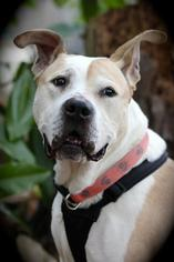 American Bulldog Mix Dog For Adoption in Marietta, GA