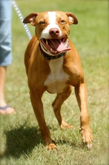 Bulldog Mix Dog For Adoption in Columbus, GA, USA
