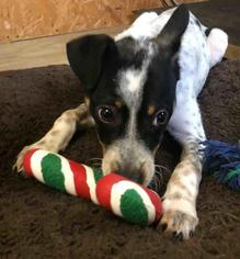 Rat Terrier Dog For Adoption in Rossville, TN, USA