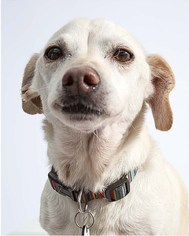 Chiweenie Dog For Adoption in Midway City, CA, USA
