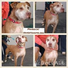 American Pit Bull Terrier Mix Dog For Adoption in Berwick, PA
