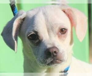 Puppyfinder com: Chug puppies puppies for sale and Chug dogs