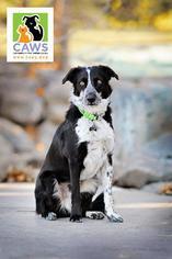 Border-Aussie Dog For Adoption in Salt Lake City, UT, USA