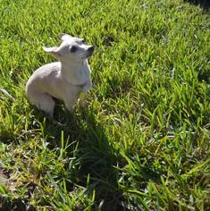 Chihuahua Mix Dog For Adoption in New Port Richey, FL