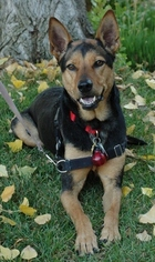Australian Kelpie-German Shepherd Dog Mix Dog For Adoption in Fremont, CA, USA