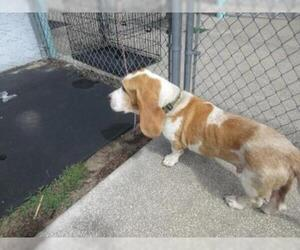 Basset Hound Dogs for adoption in Inverness, FL, USA