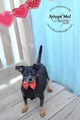 Doxie-Pin Dog For Adoption in Richmond, MO