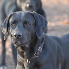 Labrador Retriever Mix Dog For Adoption in Temple, GA
