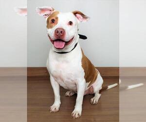 American Pit Bull Terrier Dogs for adoption in Eden Prairie, MN, USA