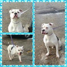 American Bulldog Dog For Adoption in Alton, IL, USA