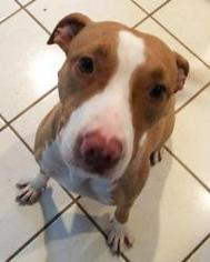 American Pit Bull Terrier Mix Dog For Adoption in Dallas, TX